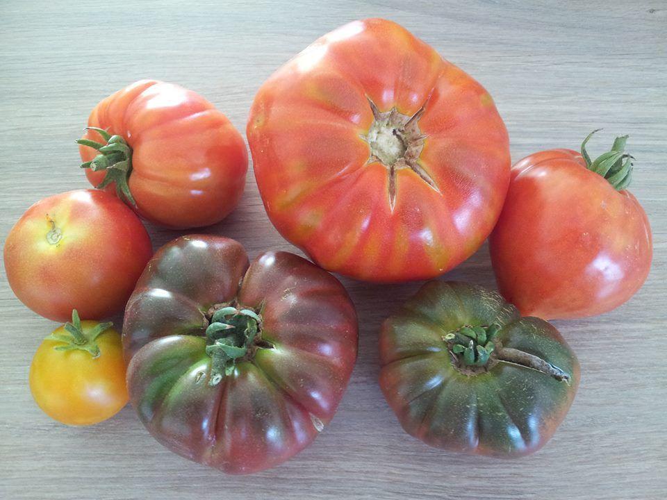 Des hlm 39 s pour les tomates le jardin du caillou - Quand repiquer les tomates ...