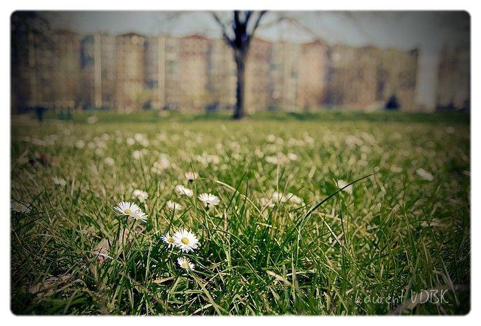 Pâquerettes sur la pelouse de l'Espace Marcel Lods (immeuble Flandres en arrière-plan) à Sotteville-lès-Rouen - Traitement : Virage partiel