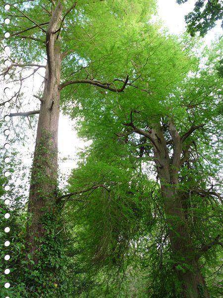 Le cyprès chauve Taxodium distichum