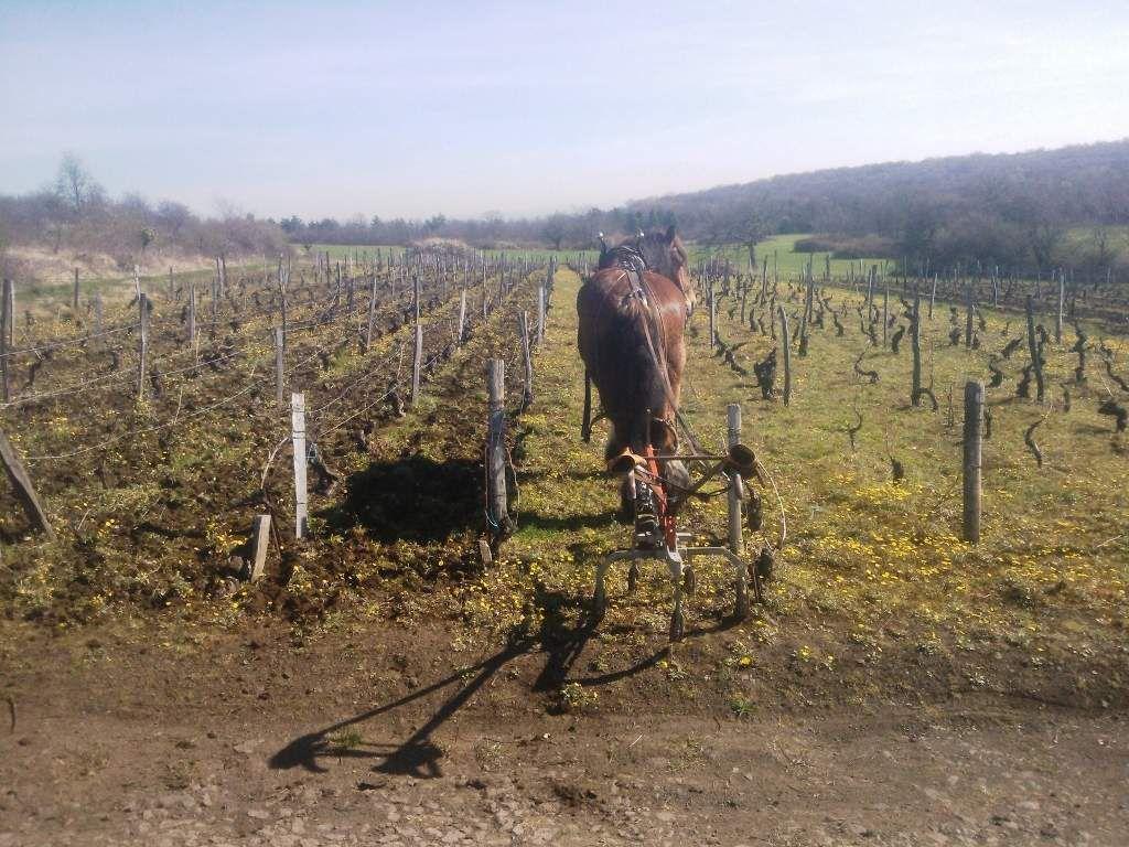 Encore dans les vignes