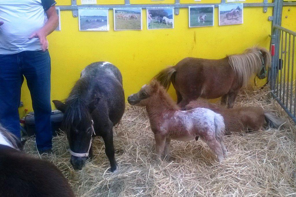 Le gabarit des minis-poneys contrastait avec celui de la vingtaine de chevaux de traits présents.