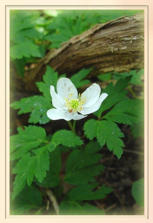 Mon premier acrostiche sur les fleurs sauvages...