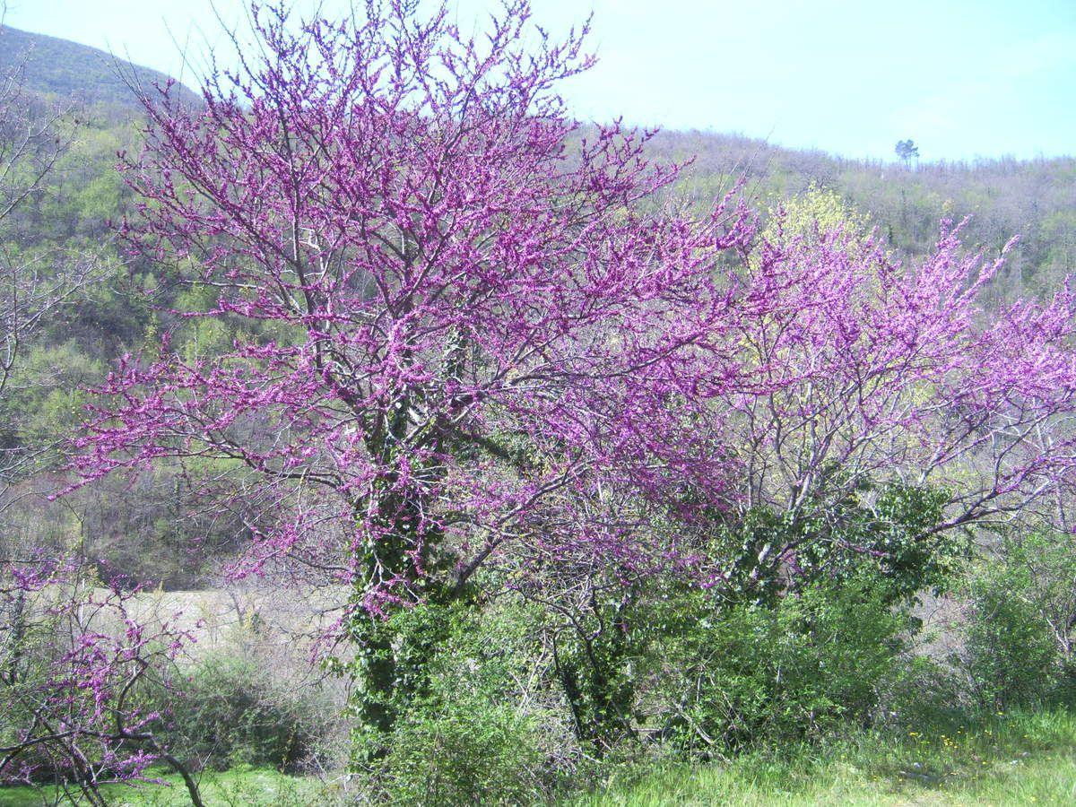 Il cercis siliquastro produce fiori ermafroditi il cui colore secondo una leggenda ricorda il sangue di Giuda, l'apostolo che tradì Gesù e che si impiccò ai rami dell'albero