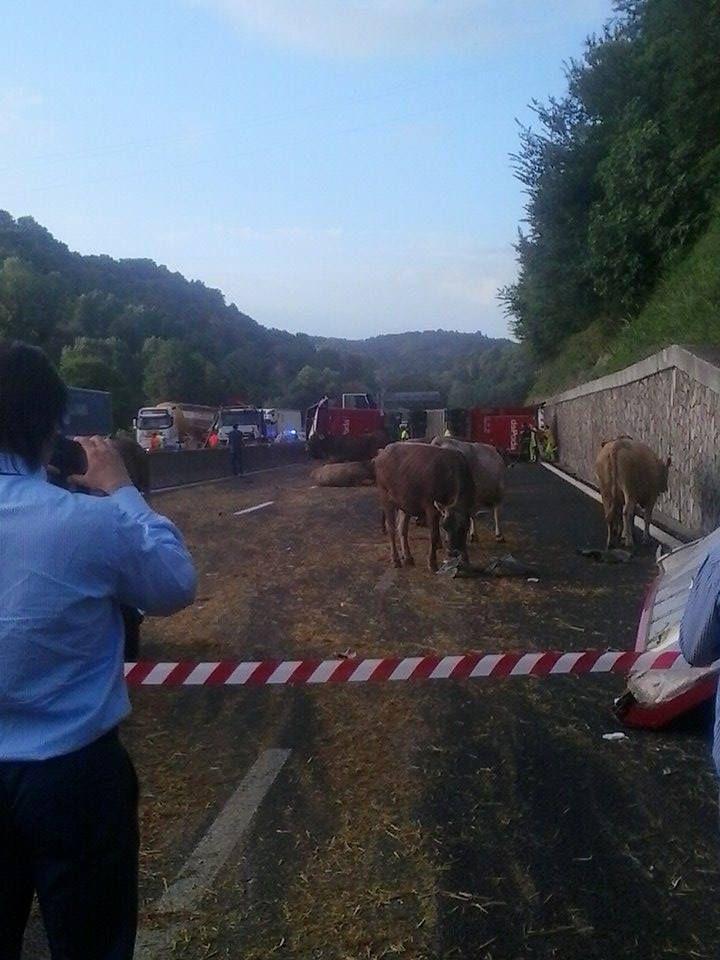 Incidente sull' A1, si rovescia un TIR di bovini