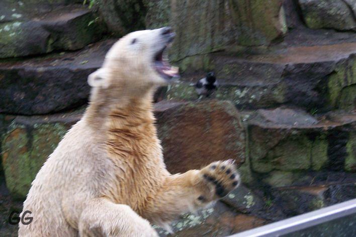 Erinnerung an Knut Dezember 2008
