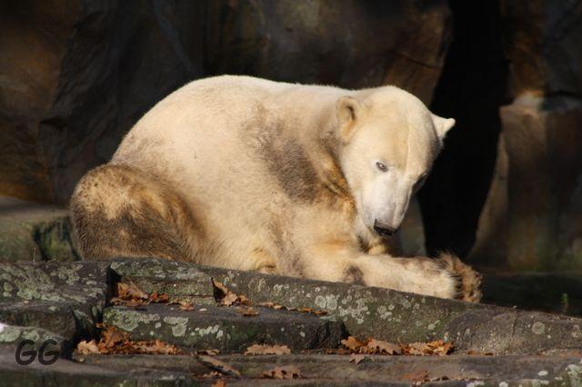 Erinnerung an Knut November 2009