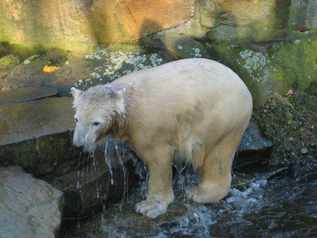 Erinnerung an Knut Februar 2008