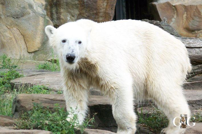 Erinnerung an unseren Knut September 2008