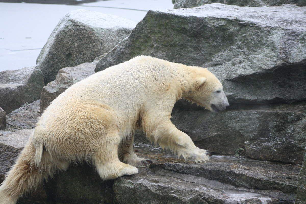 Erinnerung an Knut Januar 2011