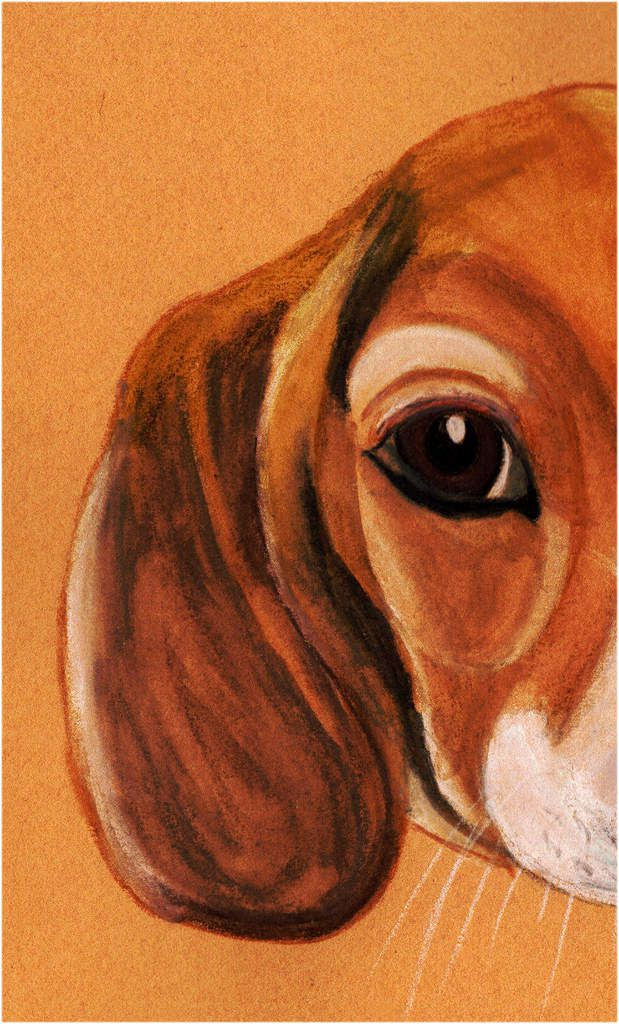 Oreille de beagle