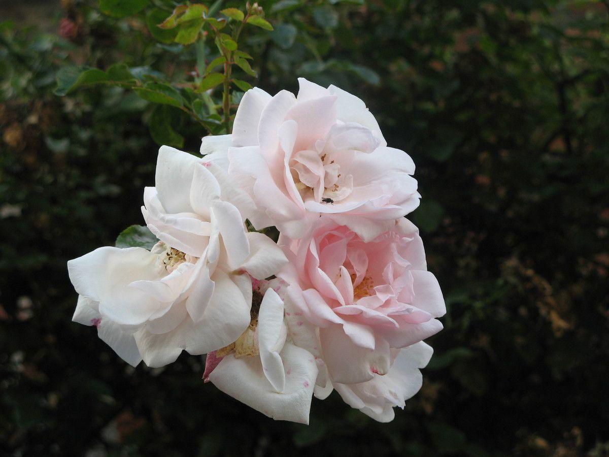 Rose fut une nom qui a connu un grand succès, aujoud'hui éteint, mais refleurira bientôt dans les actes de naissance.
