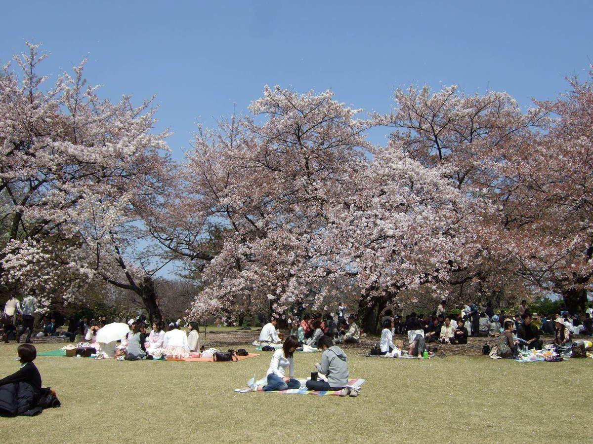 Hanami  pique nique sous les cérisiers en fleurs
