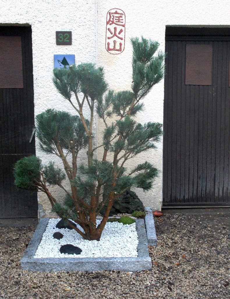 évolution d'un niwaki après quelques années de taille de formation.