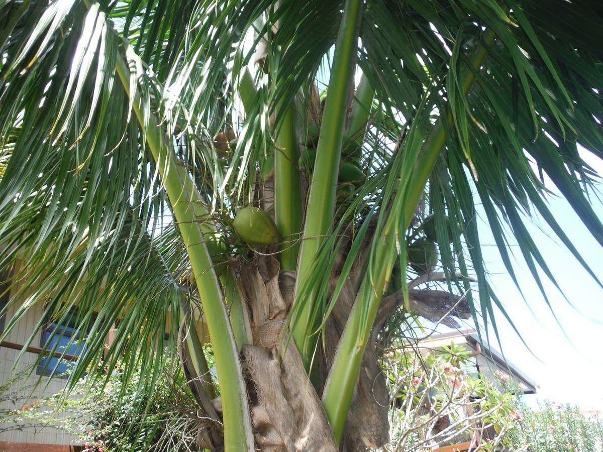 Nos 1eres cocos - pour le poisson cru - Cocotier rapporté de Tetiaroa avec papi Michel, mamie Mimi, tata claudine et tonton Alain, il y a presque 6 ans