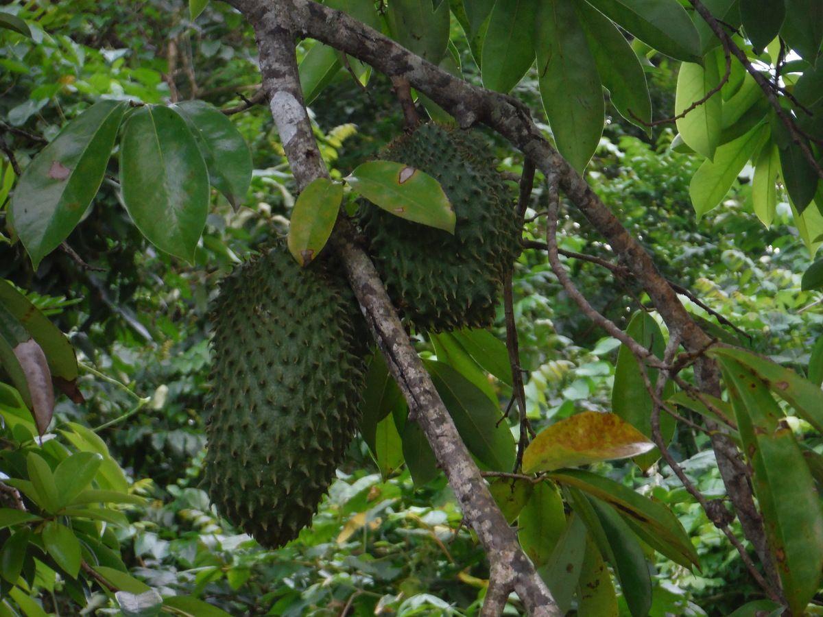 Fruit &#x3B; Corosol