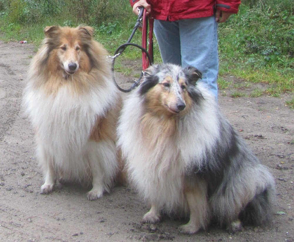 Collie Invasion :-)