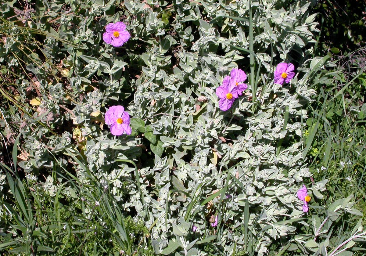 les premiers cistes sont en fleurs - le blog de capucine30