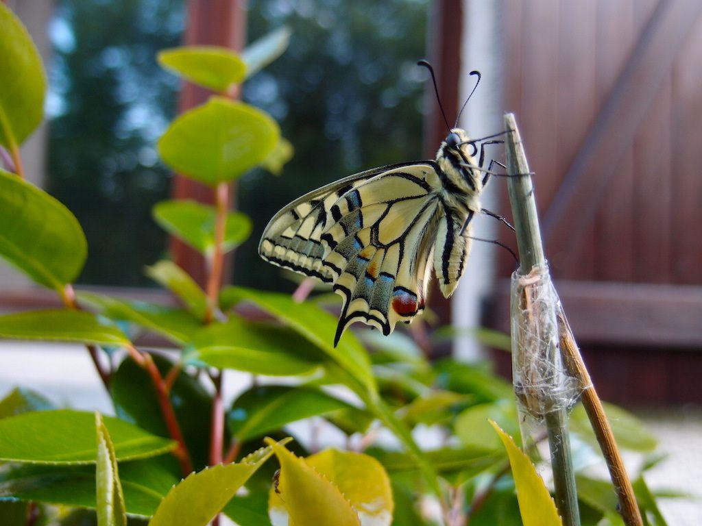 Papillon de lumière, oh machaon !