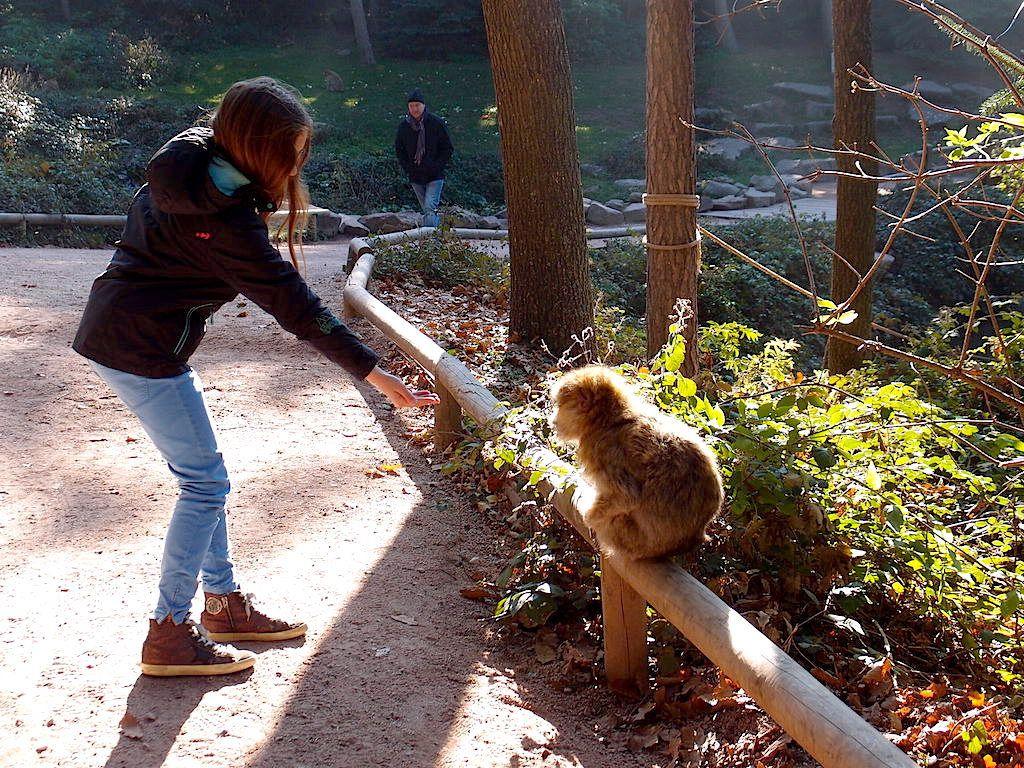 Les macaques de Barbarie de la Montagne des singes / Alsace