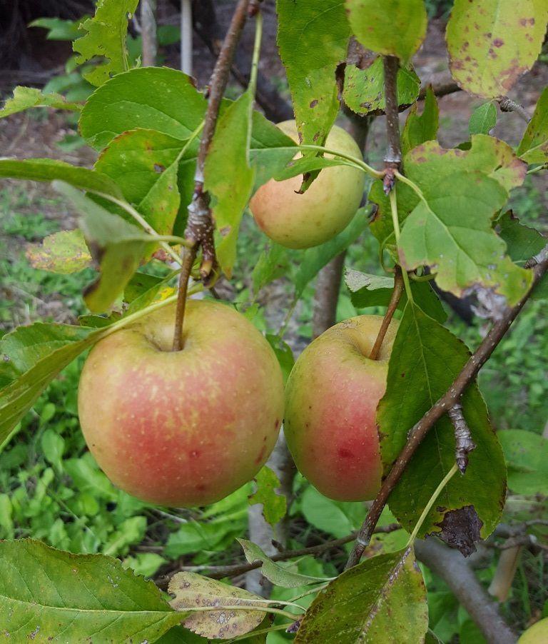 Pommes golden du jardin...
