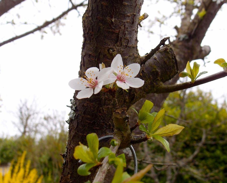 Les fleurs de prunier toujours aussi belles