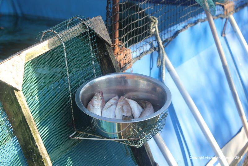 Nourrissage Fous de Bassan en piscine extérieure