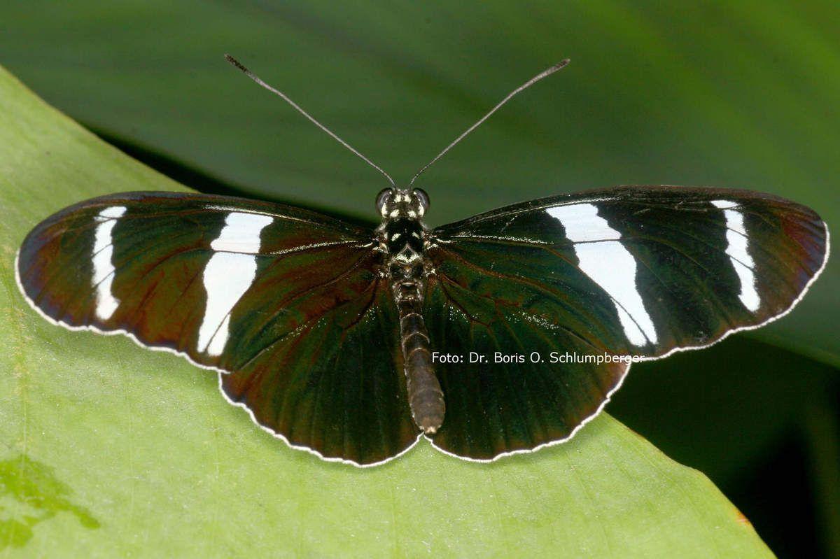Schmetterlingsführungen für Erwachsene