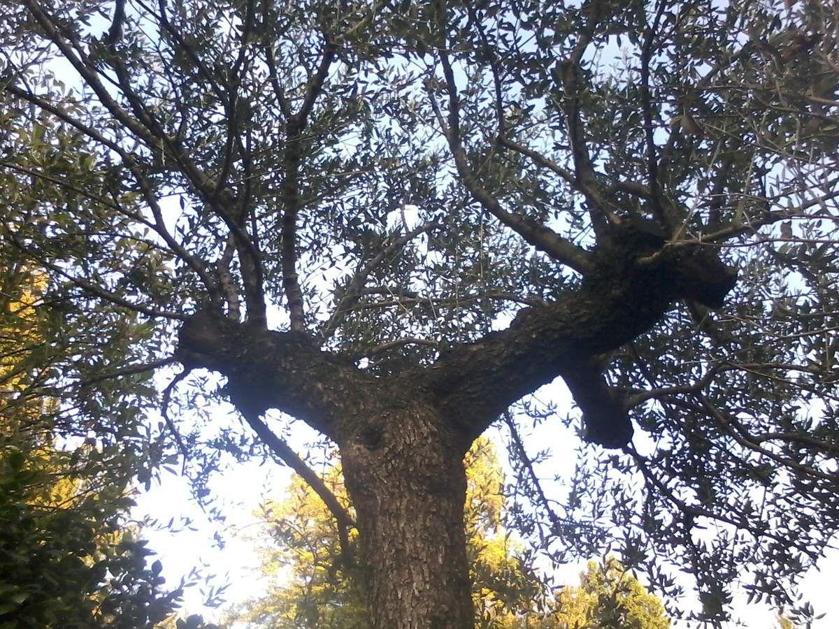 Appare terminata la malattia degli ulivi in Puglia