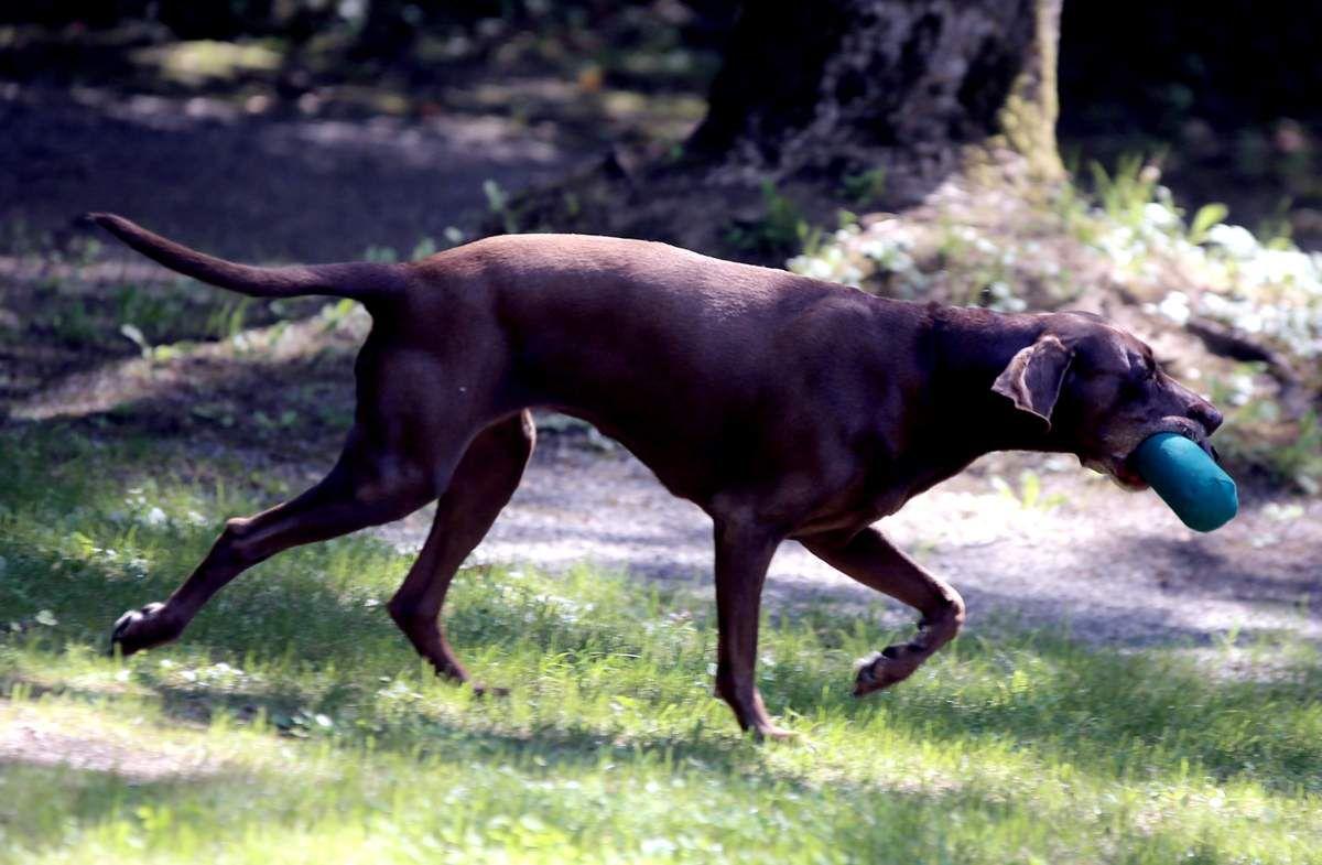 Zunächst demonstrierte das DLRG-Trio, wie man die Hunde in eine bestimmte Richtung schickt. Dazu wurden drei Futter-Dummys in verschiedene Richtungen verteilt. Die Kinder konnten bestimmen, welches Abby als erstes zu holen hatte.