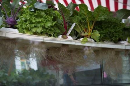 Kann Salat schwimmen? Ja er kann! Hydroponik, die Wasserkultur, ist im Erwerbsgartenbau bereits weit verbreitet. Jetzt kommt der Trend auch in unsere Hausgärten und auf die Balkone.