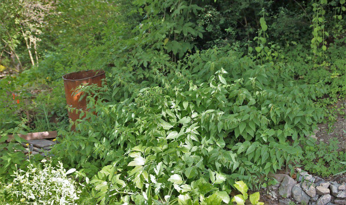 """Nach dem Motto """"Pflanzensaft gibt Pflanzen Kraft"""" wird im Bürgergarten viel mit Brennnessel- und Schachtelhalm-Jauche gegossen. Die Kinder konnten ihre Nasen in Eimer halten und die Jauchen schnuppern. Im Hangbereich wächst die Brennnessel reichlich, wie im Bild zu sehen. Was andere als Unkraut bezeichnen, ist für Kissel ganz wertvoll und wichtig. Für sie ist die Brennnessel eine heilige Pflanze, die sie auch als Tee nutzt."""