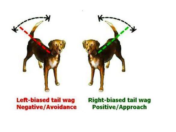 Come scodinzola il vostro cane?