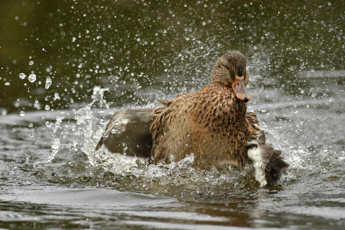 Le bain des oiseaux