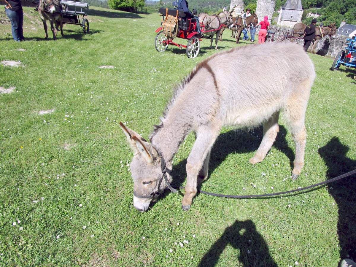 Eole, un jeune âne âgé d'un an, a beaucoup apprécié le château de Lavardin