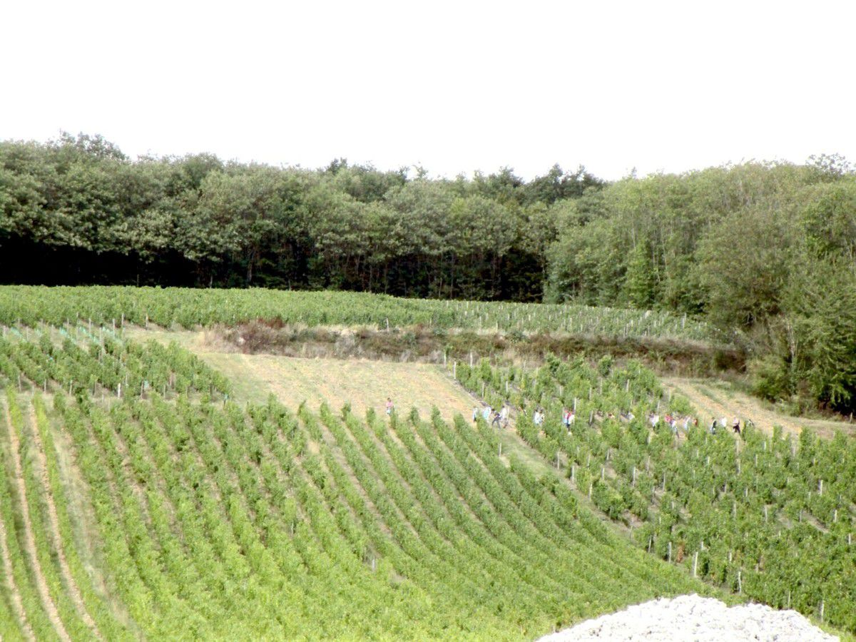 Les vignes sont emblématiques de la Vallée du Loir