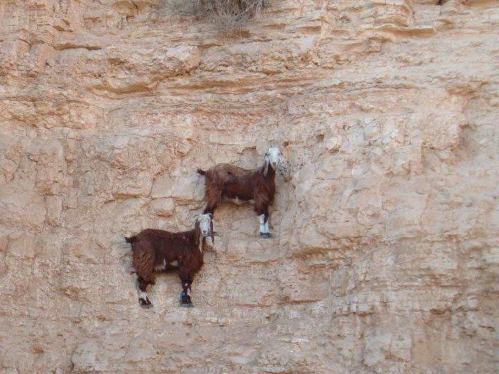 Chèvres intrépides (1)
