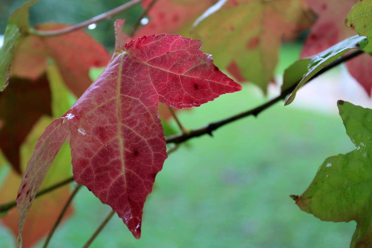 photo de mon liquidambar prise mardi après-midi après une averse. J'adore cet arbre ! (5 octobre)