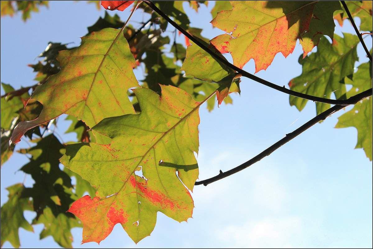 Par transparence, on voit l'ombre de la branche qui est derrière la feuille ! (photo prise lundi dans  une plaine de jeux par un temps magnifiquement ensoleillé ) !