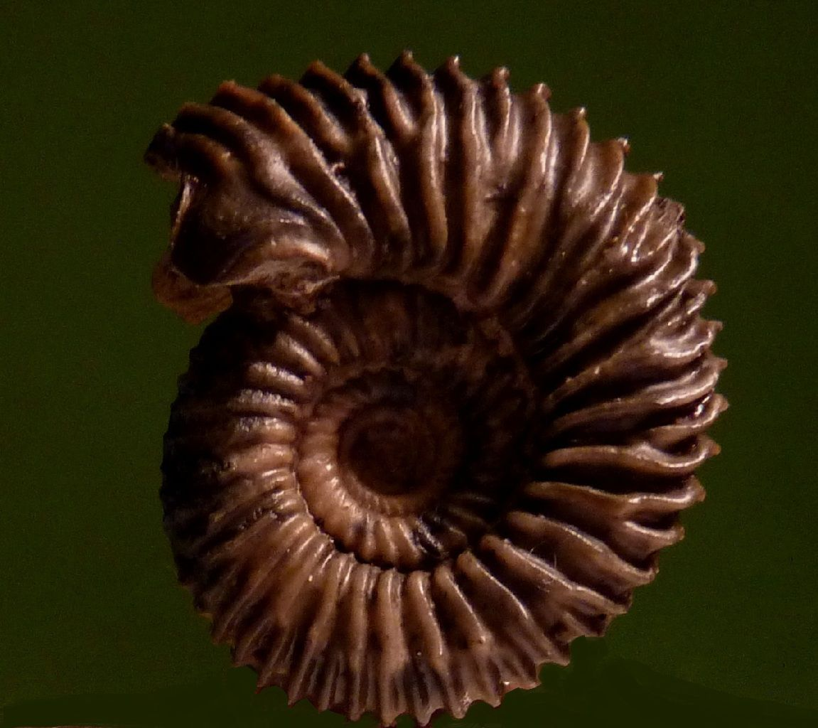 Pseudogarantia dichotoma (m).