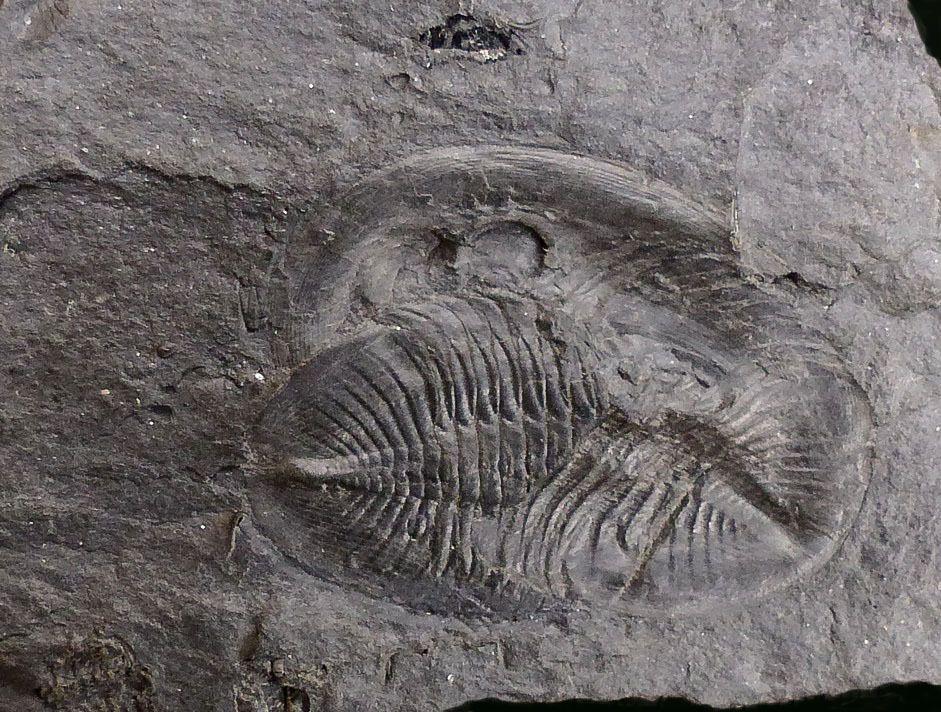Album - Fossiles Ordovicien