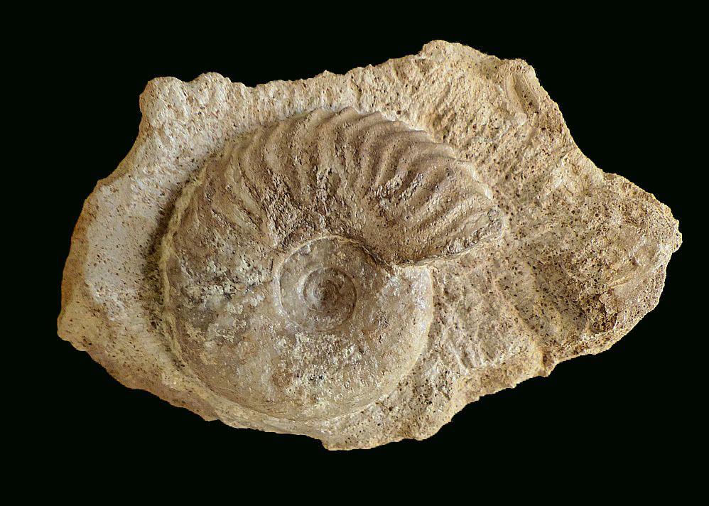 Album Fossiles Pliensbachien