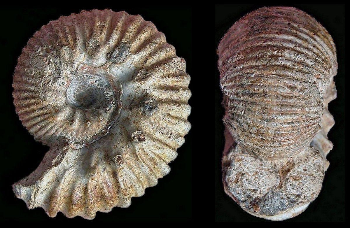 Album - Ammonites du bajocien inférieur