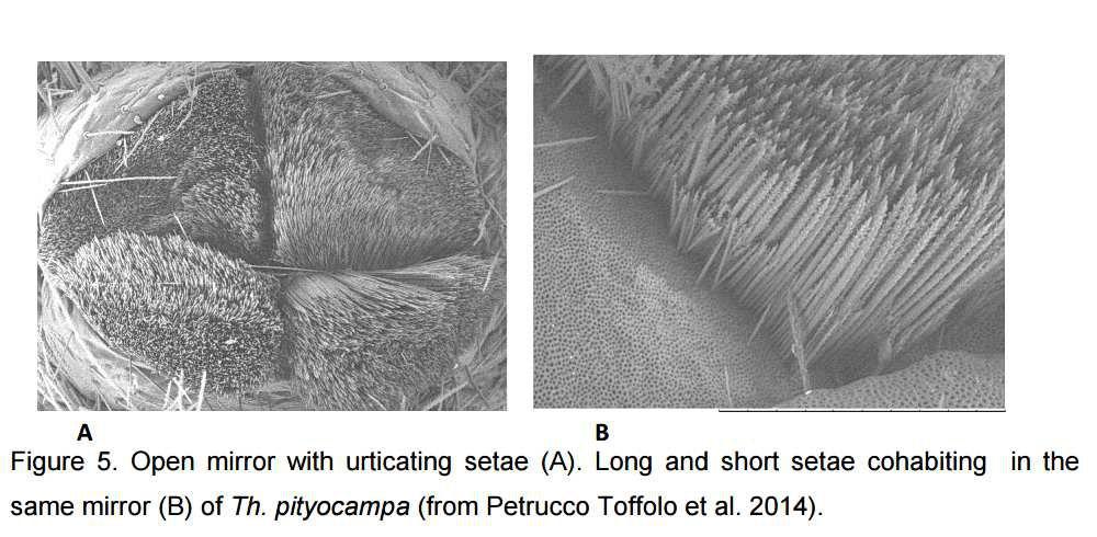Co-existence de soies courtes et longues dans le même miroir ouvert de T. pityocampa, d'après P. Toffolo  in Mitali  2015.