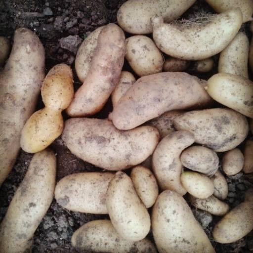 Mes patates de la Rate dans le jardin