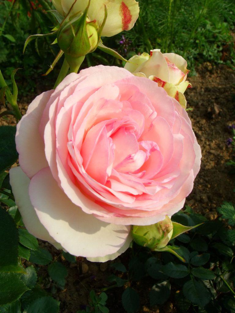 (Rosier mondialement connu sous le nom de R. 'Pierre de Ronsard')