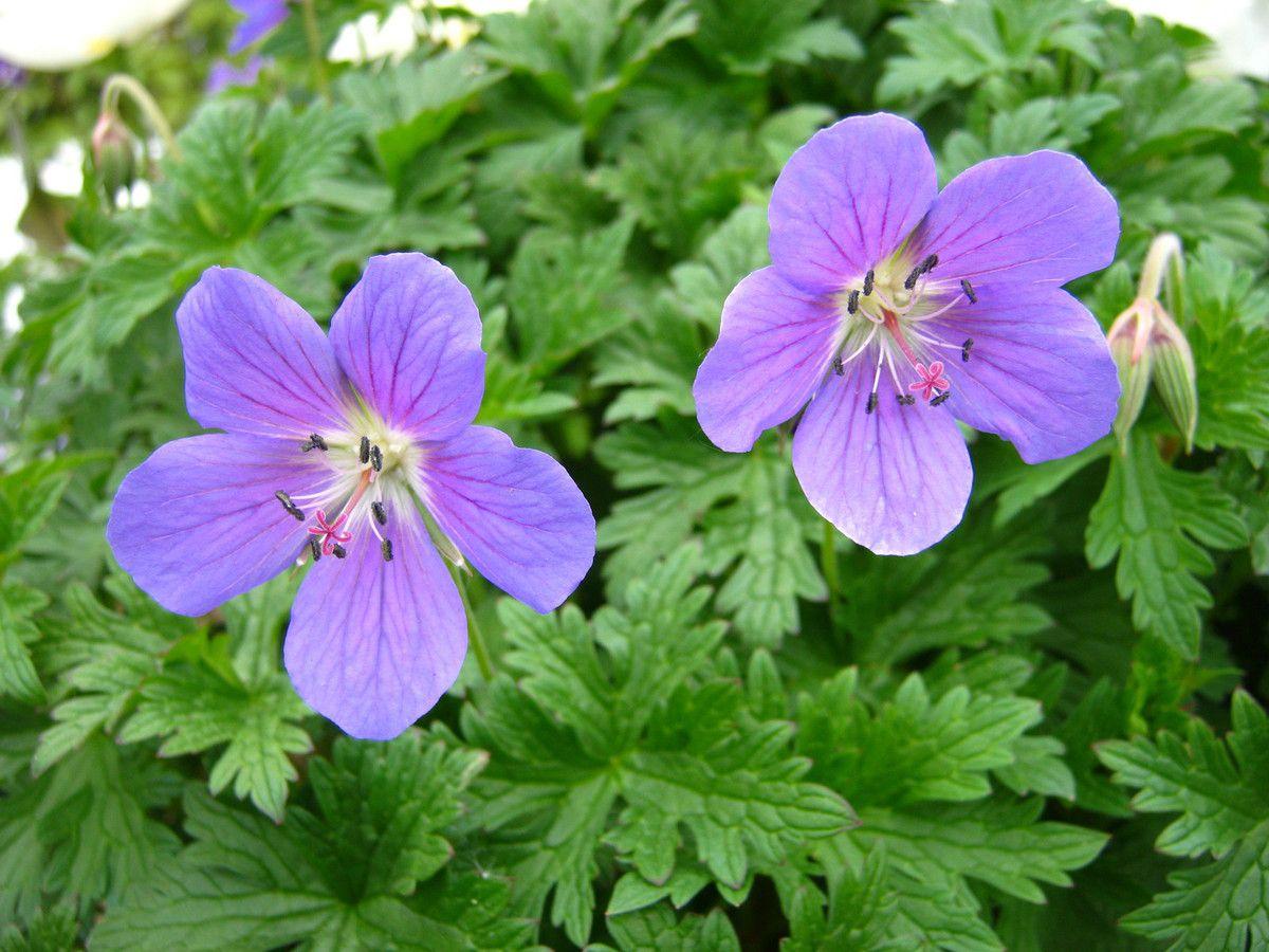 (Ce Géranium vivace est facile et florifère.)