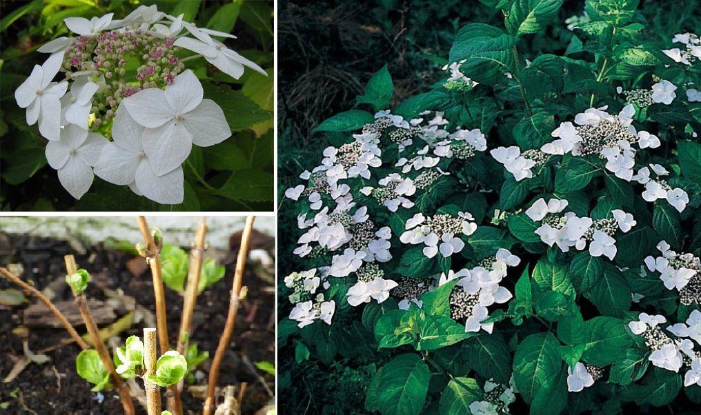 Hydrangea macrophylla 'Teller White'