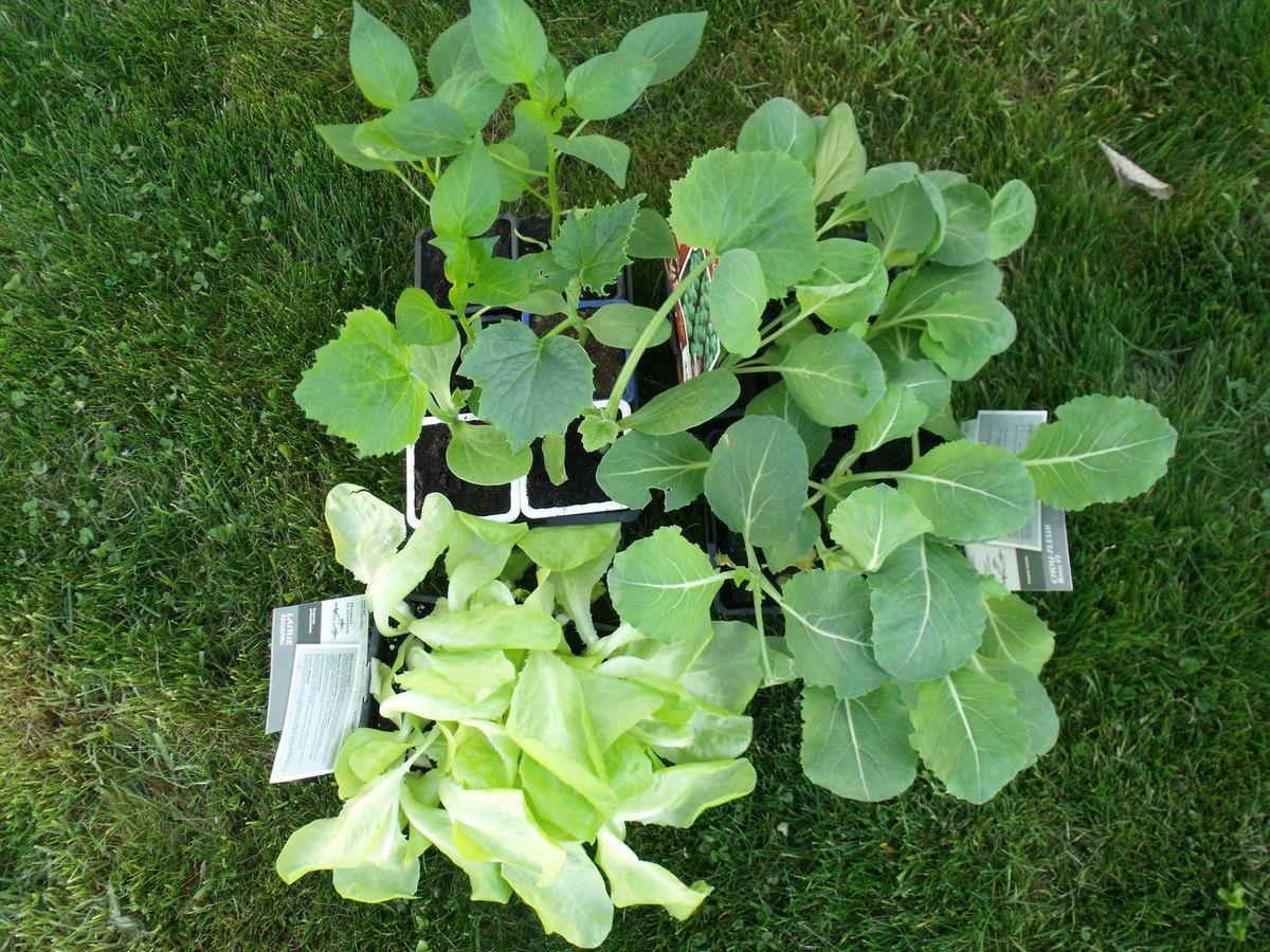 6 laitues, 12 choux, 1 concombre, 1 courgette et 3 poivrons attendent leur plantation