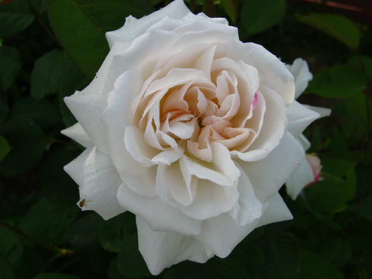 rosier 'Winchester Cathedral'
