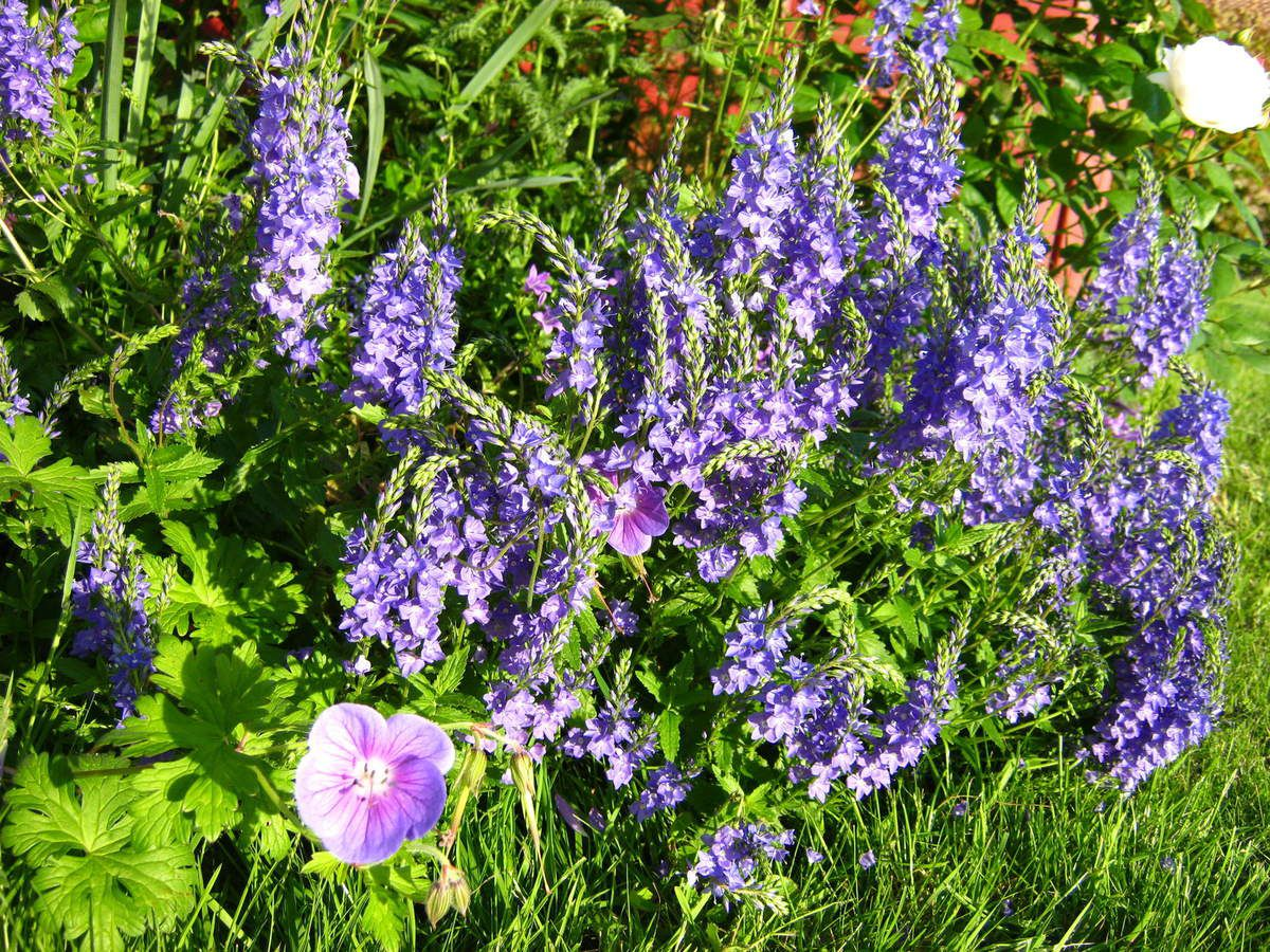 Veronica spicata accompagnée du geranium 'Johnson's Blue'